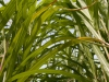 bambus_13