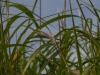 bambus_8